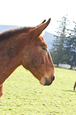 Photograph - Mule - Rescued by Marie Jamieson