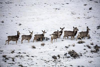 Muledeer Gather On A Snowy Hillside In Sweetwater County In Wyoming Art Print
