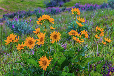 Photograph - Mule's Ear And Lupine by Marc Crumpler