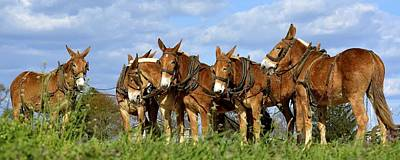 Photograph - Mules Unhitching by Tana Reiff