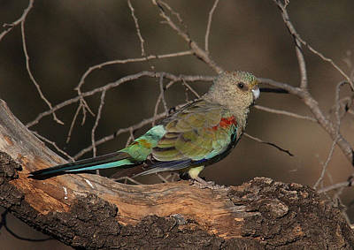 Photograph - Mulga Parrot Female A by Tony Brown
