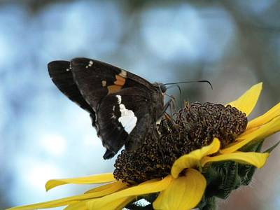 Photograph - Multi Color Moth On Sunflower by Belinda Lee