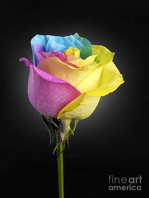 Rainbow Rose Photograph - Rainbow Rose 1 by Tony Cordoza