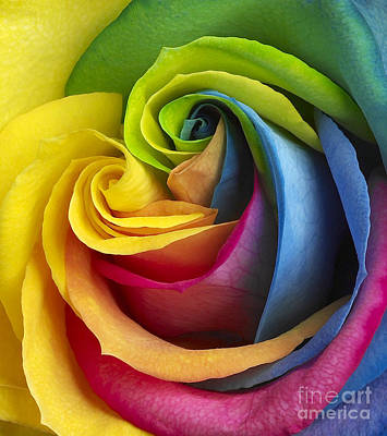 Single Rose Stem Photograph - Rainbow Rose by Tony Cordoza
