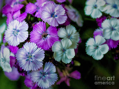 Photograph - Multi Colored Carnation by Kathleen K Parker