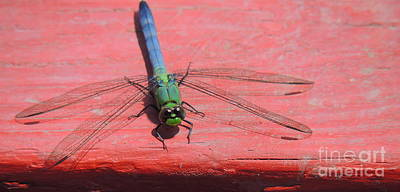 Photograph - Multi-colored Dragonfly by Marcia Lee Jones