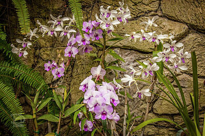 Photograph - Multi Colored Orchid Bush by Daniel Hebard