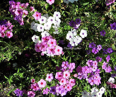 Photograph - Multi Colored Phlox by D Hackett