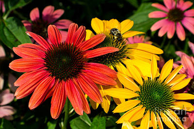 Photograph - Multi Colored Susans by Kevin Fortier