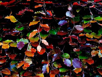 Photograph - Multi-coloured Beech Leaves by Colin Drysdale