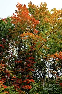 Photograph - Multicolor Maple by Sandra Updyke
