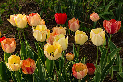 Photograph - Multicolor Tulip Garden - Enjoying The Beauty Of Spring by Georgia Mizuleva