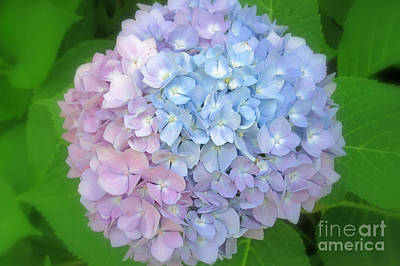 Photograph - Multicolored Hydrangea by Kay Novy
