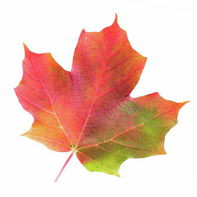 Art Print featuring the photograph Multicolored Maple Leaf by Jim Hughes