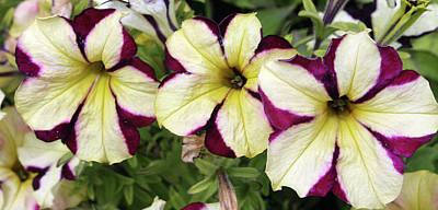 Photograph - Multicolored Petunias by Ellen Tully