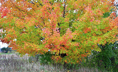 Photograph - Multicolored Sugar Maple In Volo Illinois by Ray Mathis