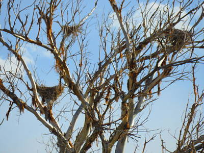 Photograph - Multiple Heron Nests 12 by Judy Kennedy
