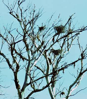 Photograph - Multiple Heron Nests 6 by Judy Kennedy