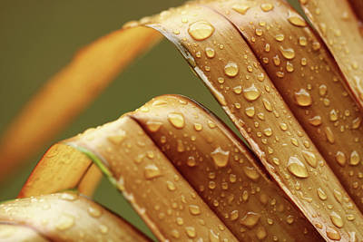 Photograph - Multiple Water Droplets On Brown Palm Leaves by Prakash Ghai