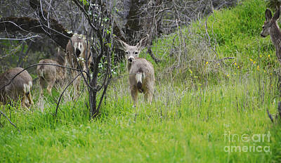 Mule Deer Herd Photograph - Mum Said I Cannot Stay by Debby Pueschel