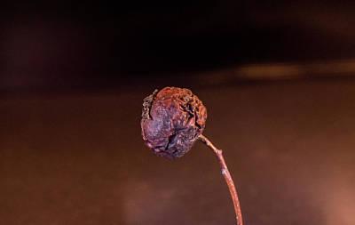 Photograph - Mummified Cherry In Evening Light by Douglas Barnett