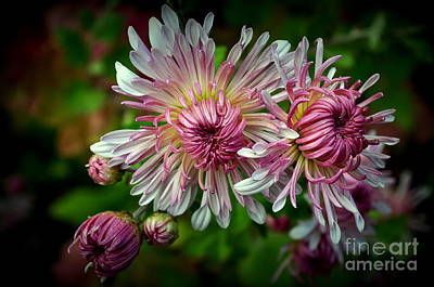 Photograph - Mums by Anjanette Douglas