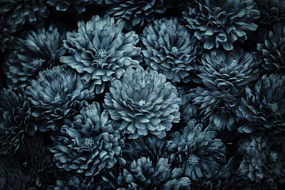 Photograph - Mums In Blue by Susan Capuano