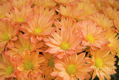 Photograph - Mums by Jill Lang