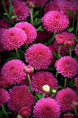 Photograph - Mums The Word Wonderful Flower Garden Art by Reid Callaway