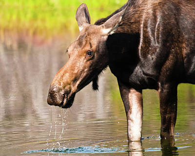 Photograph - Munching Mama Moose by Harry Strharsky