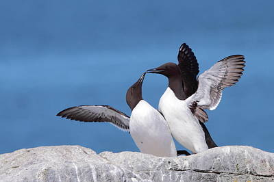 Machias Seal Island Photograph - Murre Love by Bruce J Robinson