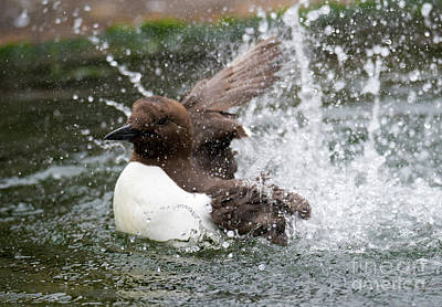Photograph - Murre Splash by Mike Dawson