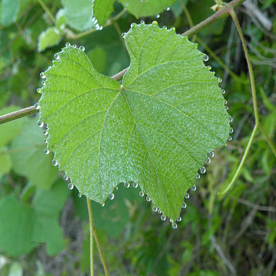 Photograph - Muscadine Grape Leaf With Tears by rd Erickson