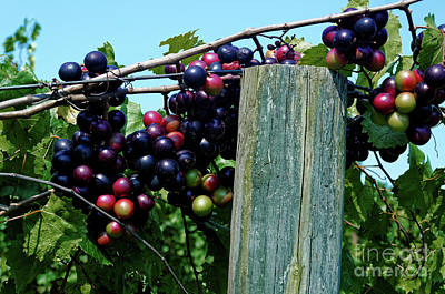 Photograph - Muscadine Grapes by Paul Mashburn
