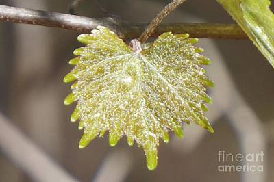 Muscadine Photograph - Muscadine Leaf by Maxine Billings
