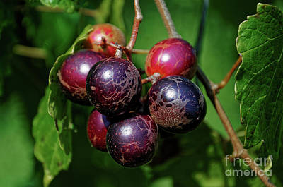 Photograph - Muscadine by Paul Mashburn