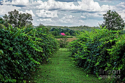 Photograph - Muscadine View by Paul Mashburn