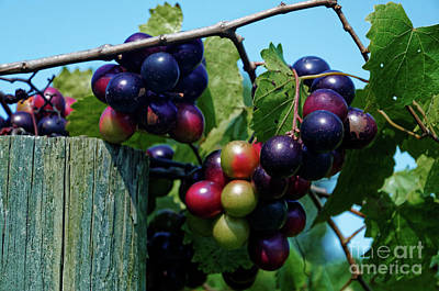 Photograph - Muscadine Vineyard by Paul Mashburn