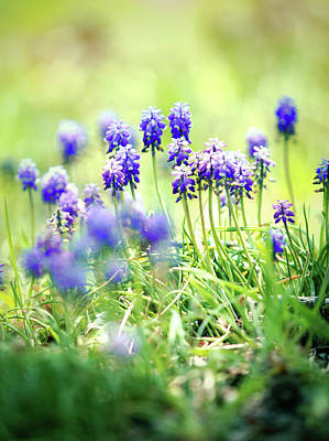 Photograph - Muscari And Dreaming by Rachel Mirror