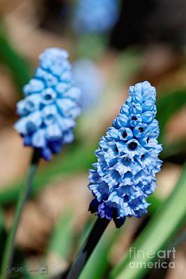Photograph - Muscari Azureum Named Sky Blue by J McCombie