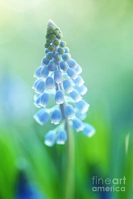 Hjbh Photograph - Muscari Dreams by LHJB Photography