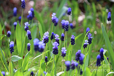 Photograph - Muscari by Julia Gavin