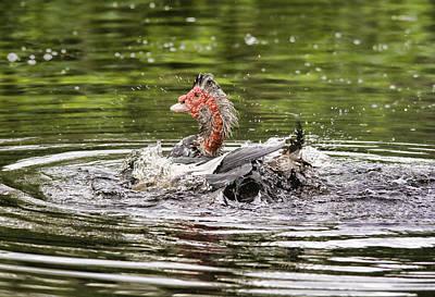 Photograph - Muscovy Duck Bath Time by John Black