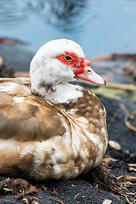 Photograph - Muscovy Duck by Joe Belanger