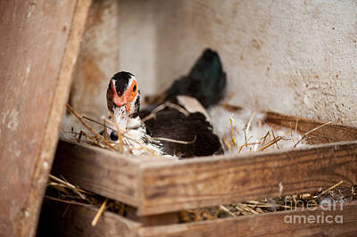 Domestic Duck Photograph - Muscovy Duck Or Cairina Moschata Incubates Eggs  by Arletta Cwalina