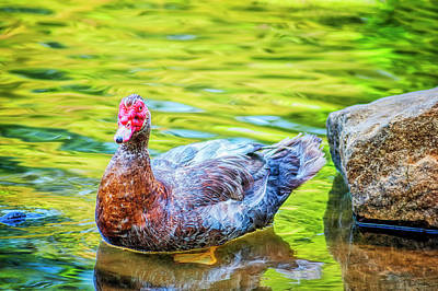 Photograph - Muscovy Duck Wading In Shallow Waters by Dee Browning