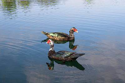 Duck Photograph -  Muscovy Ducks On The Lake by Zina Stromberg