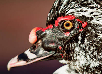 Photograph - Muscovy by Sue Collura