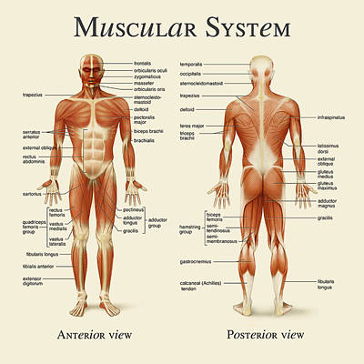 Art Print featuring the photograph Muscular System by Gina Dsgn