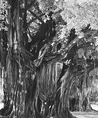 Photograph - Museum Bayan Tree by Robert  Suggs